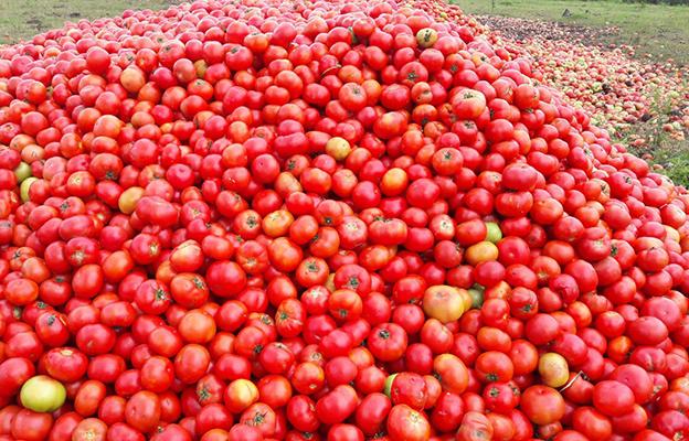 Resultado de imagem para produtor de tomate joganmdo tomate fora greve